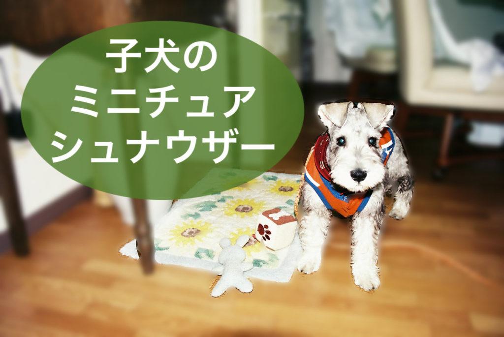 子犬のミニチュアシュナウザー