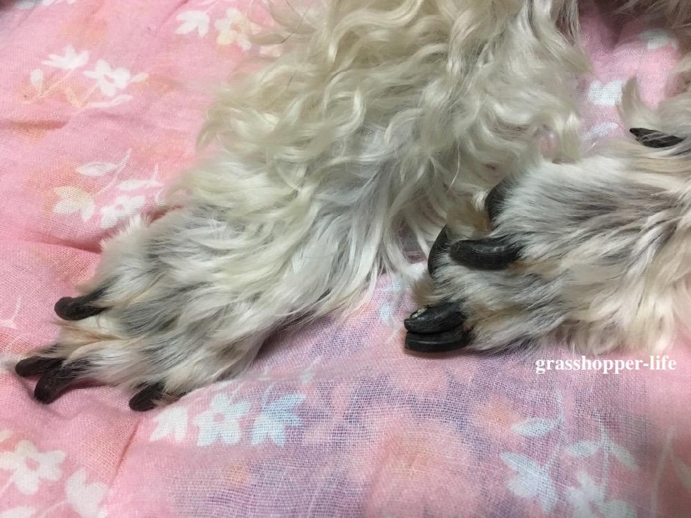 ミニチュアシュナウザーの爪